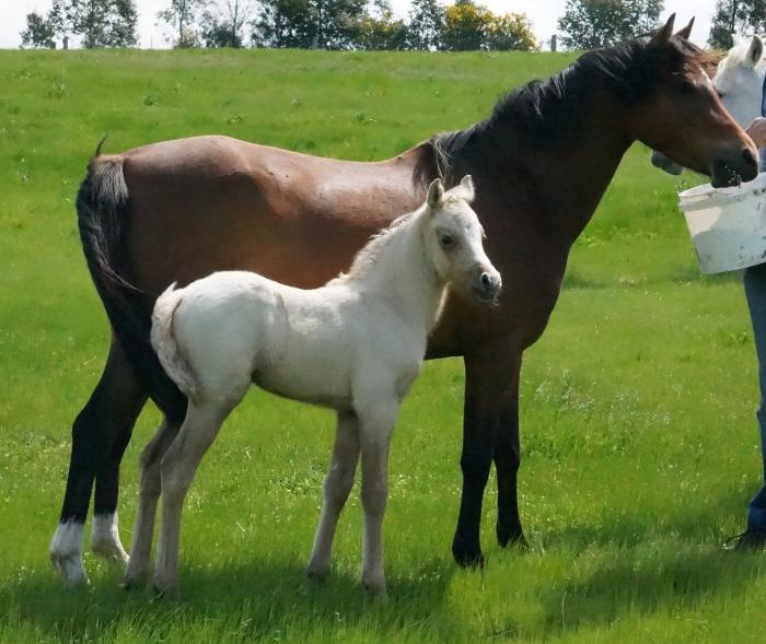 Welsh Section B Broodmare with Filly Foal at Foot