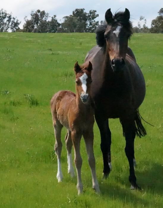 Welsh Section B Broodmare with Colt Foal at Foot