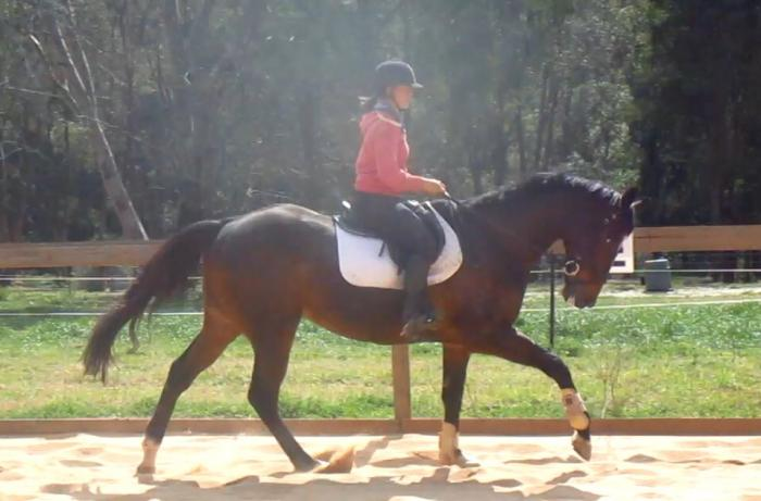 Potential Plus Dressage Gelding