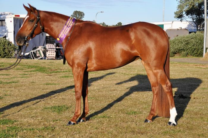Registered HSH - ASH Mare with foal at foot.