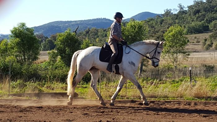 Exceptionall Well Breed Warmblood Gelding