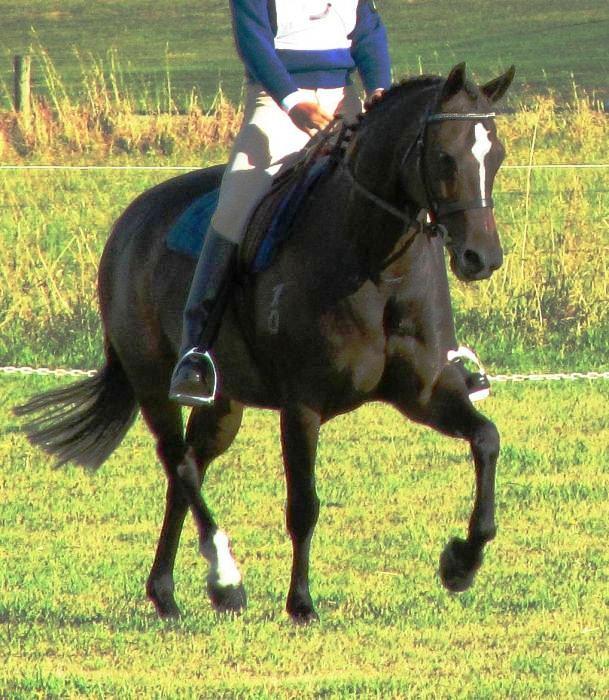 13.3hh Pony Dressage Broodmare / pleasure horse.