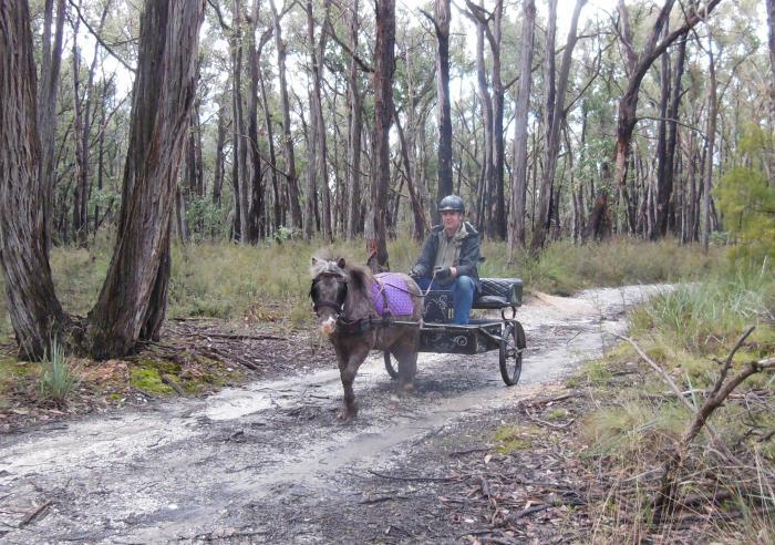 Mini pony gelding 6 years old Broken to harness