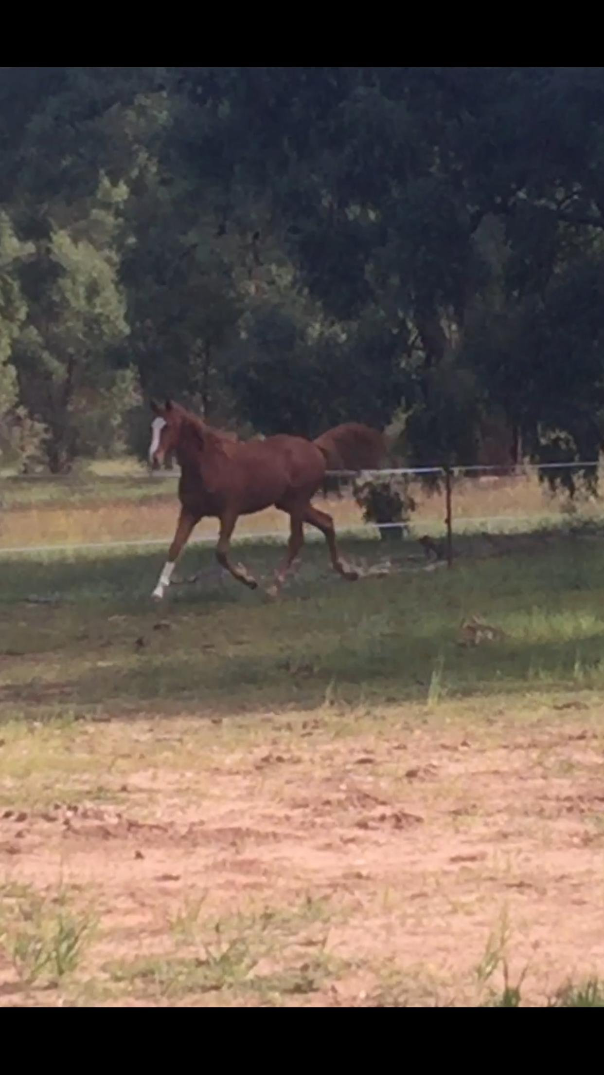 Flashy Warmblood X TB Gelding