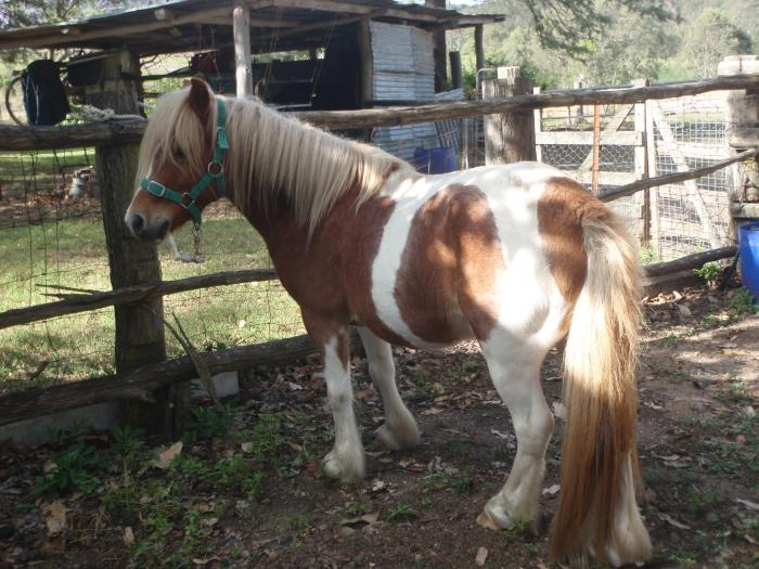 Part Welsh Chestnut Tobiano gelding