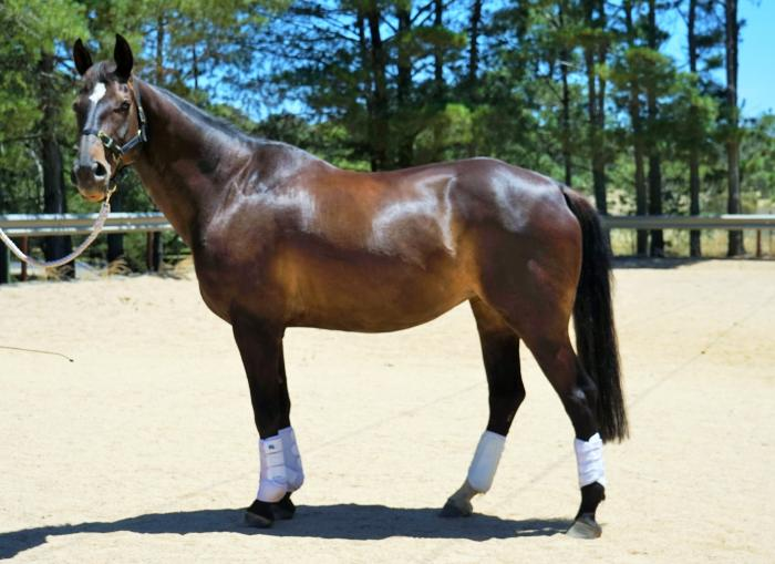 TOP CLASS WARMBLOOD MARE