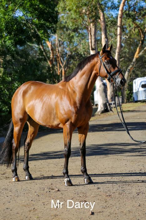 Lovely young gelding - Mr Darcy