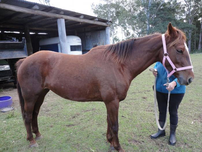Registered Paint Bred Mare