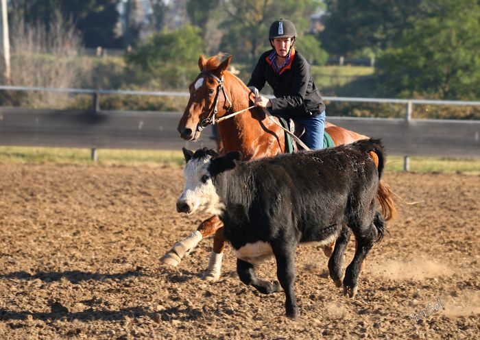 Wanted Campdraft Horse for Experienced Rider