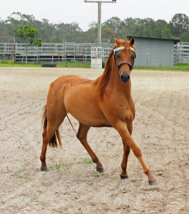 Stunning Willowcroft Gelding