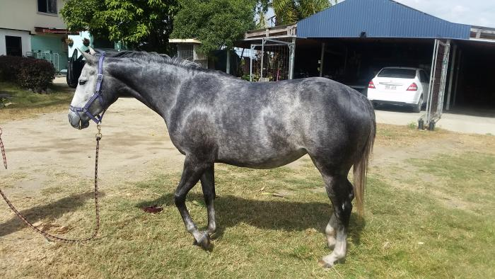4 year old pure qh filly