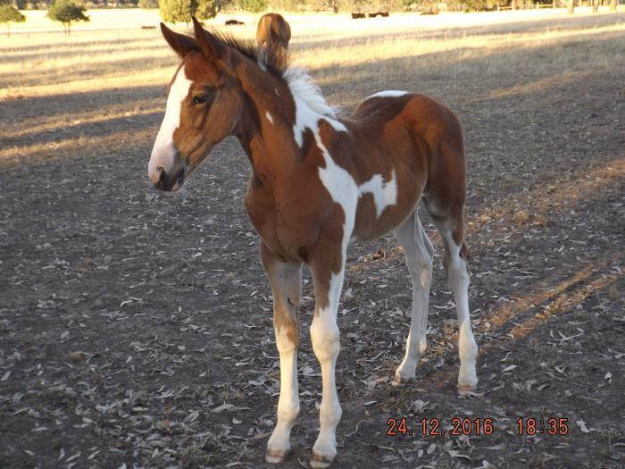 Yearling Coloured Gelding Stockhorse x
