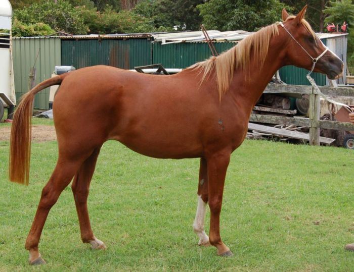 86% Crabbet Arabian Mare - REDUCED to good home