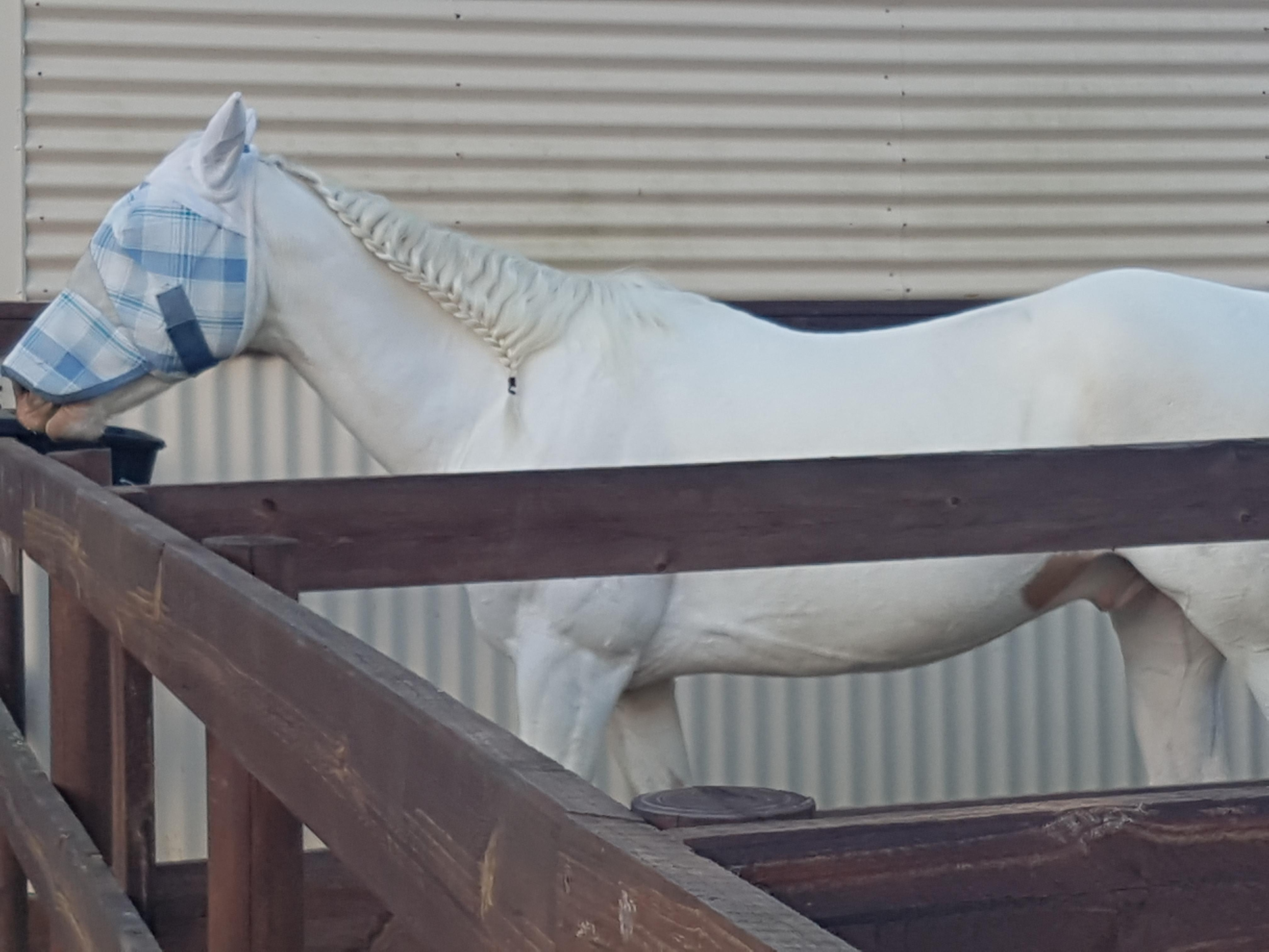 Registered Paint Gelding (Sonny)