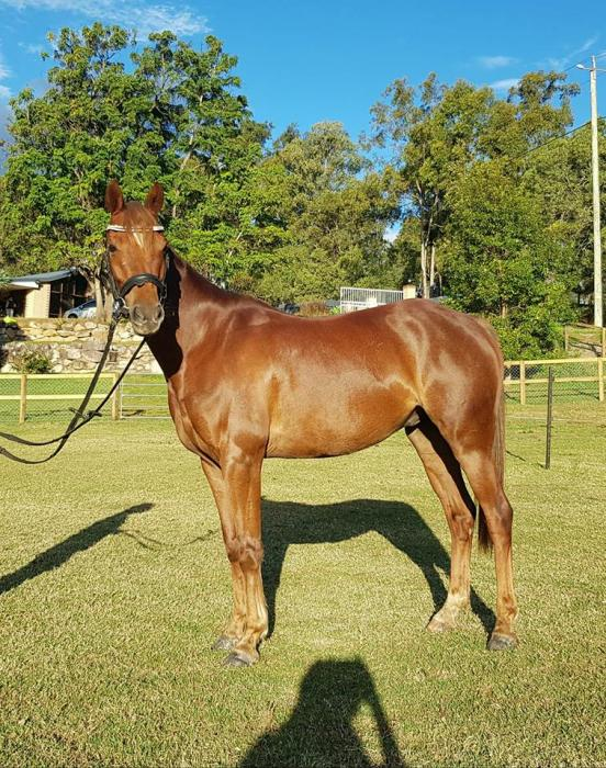 URGENT!!! MAKE AN OFFER!!! Argyl Artist Registered Riding Pony
