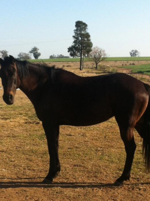 ASH Mare 14.3hh Rising 10 Black/Brown All rounder