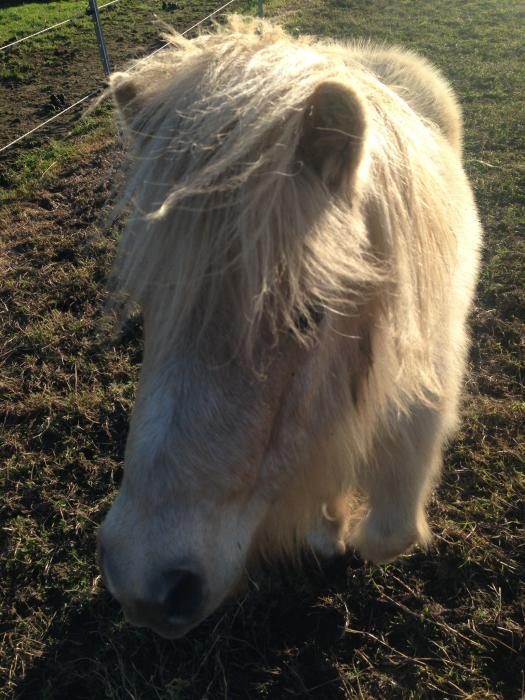 Palomino registered miniature Pony