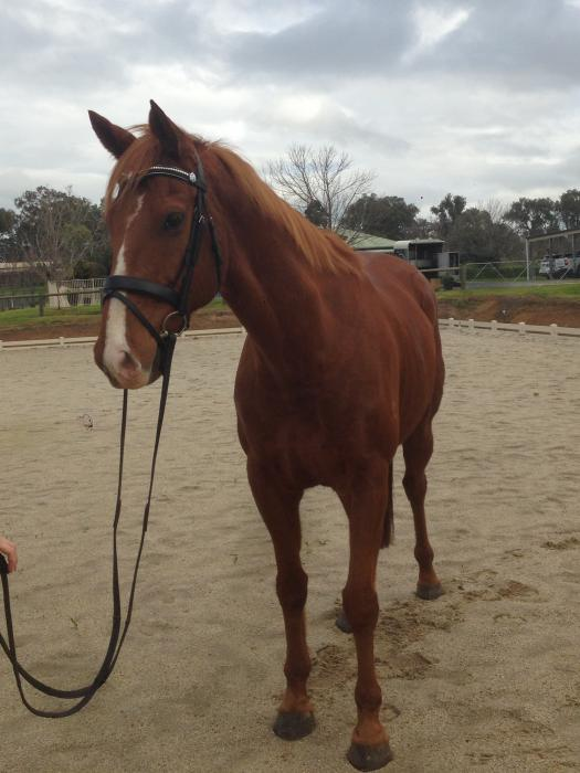 TB gelding - project horse with initial work done