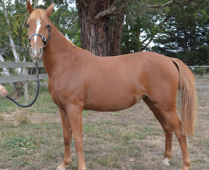 German Riding Pony Filly 2 yo
