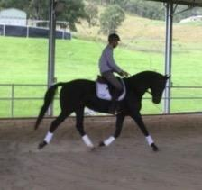 Ideal Teenagers Dressage Horse