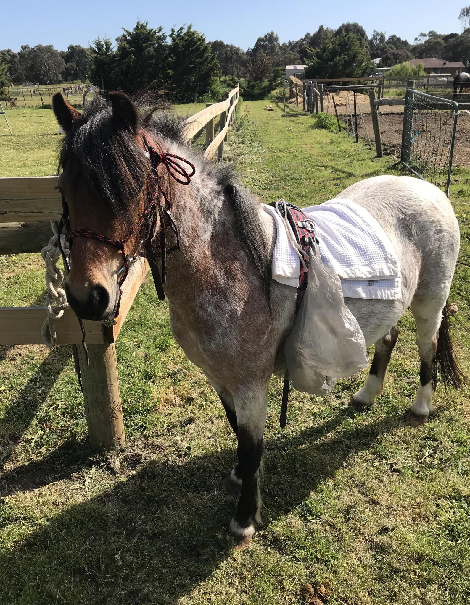 Roan Pony