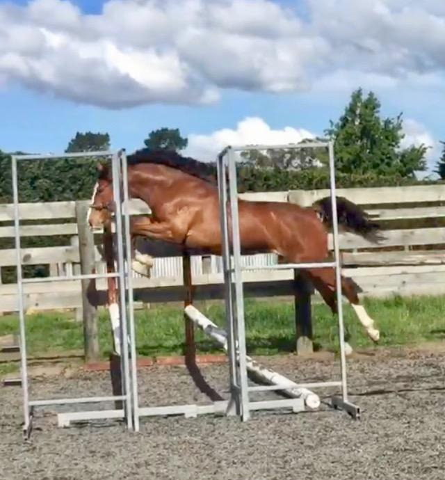 **Exceptional Warmblood Yearling**