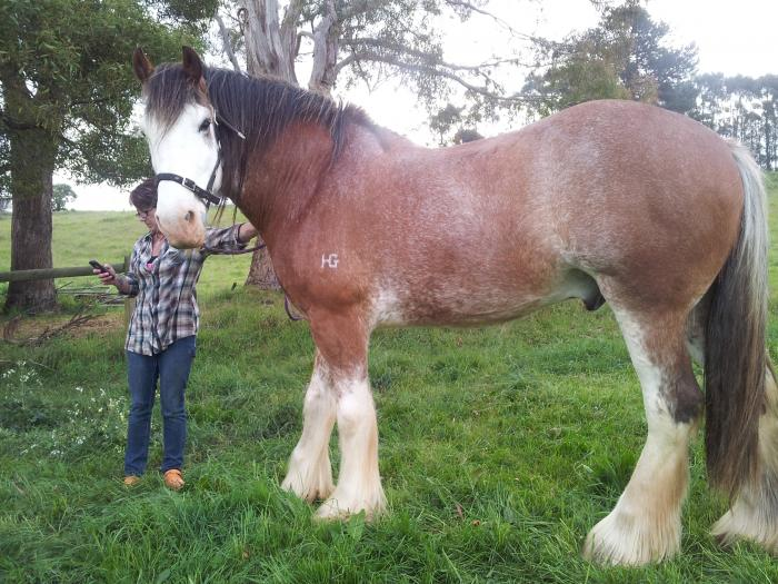 Clydesdale Gentle Giant