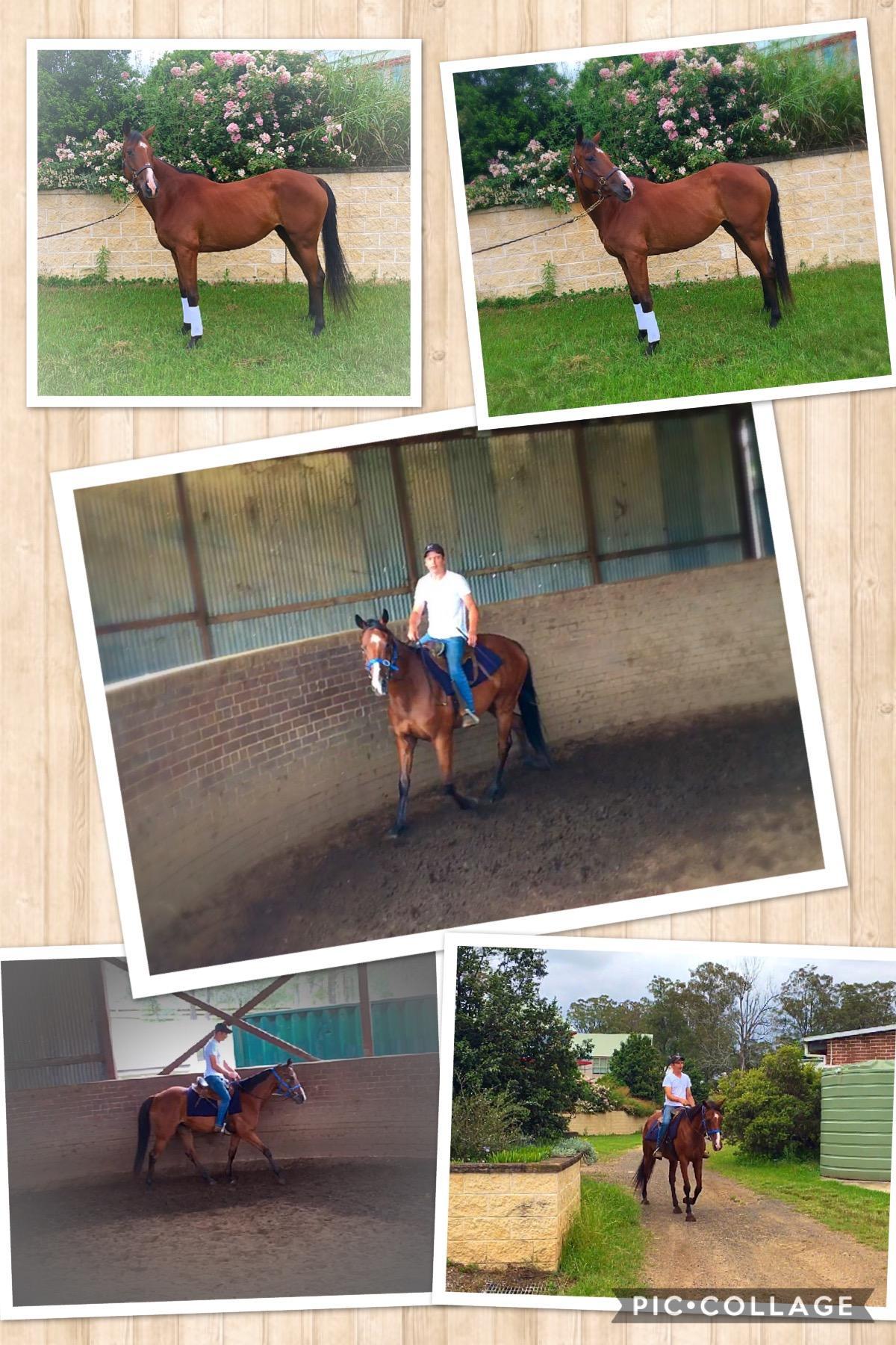 Quiet stock horse cross mare