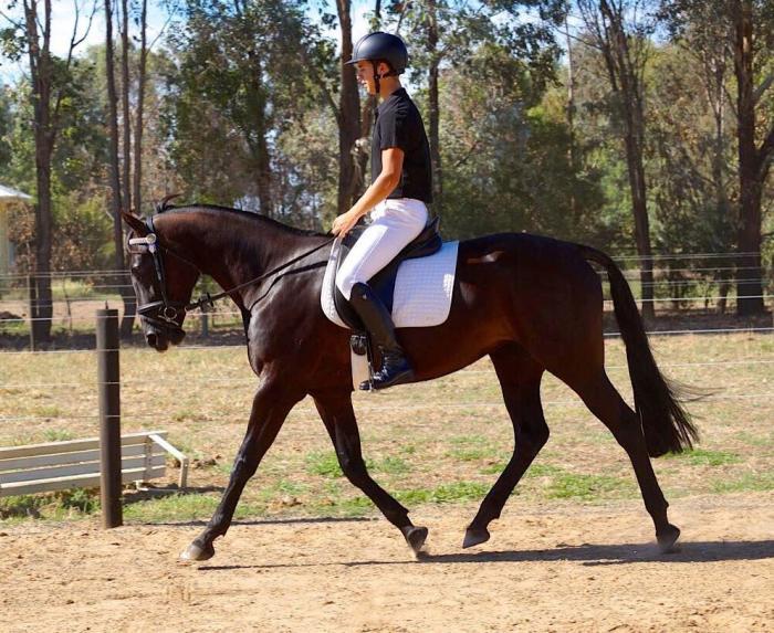 Stunning Adult Riders, Pony Club or Pleasure Mount