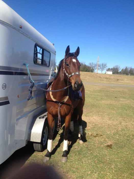 Potential Dressage, Eventer +++ PRICE REDUCED!