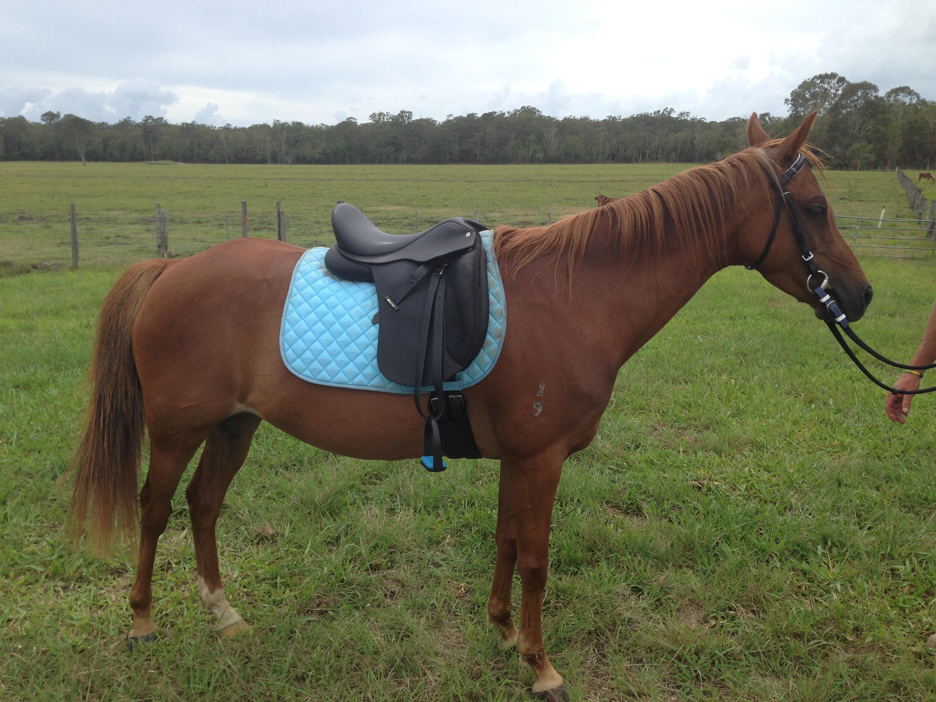 Australian Riding Pony