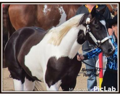 Sire as a two yr old at show 2013