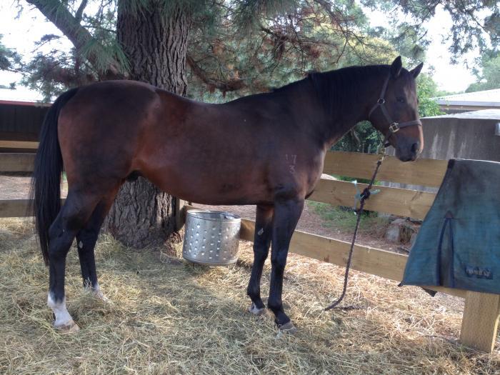Niccolini - Stunning 13yo ASB Stallion
