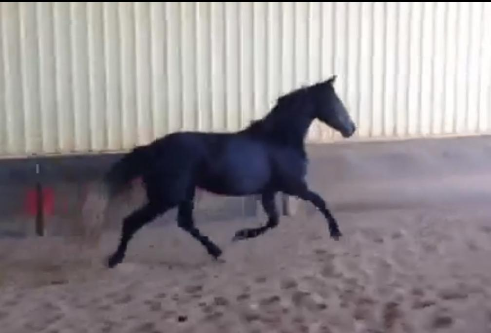 Imported Andalusian Mare