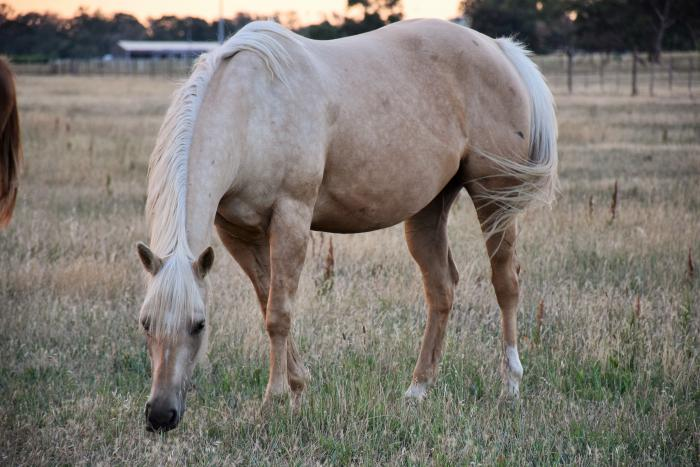 Q Horses For Sale Palomino Horses For Sa...