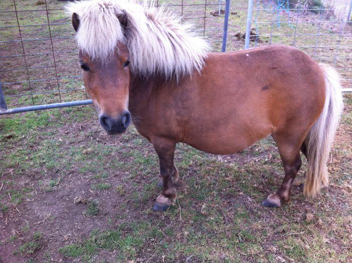 'Daisy' -7yo mini companion horse or breeding mare