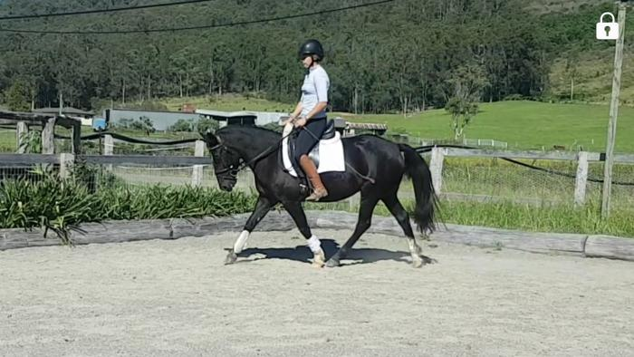 welsh x warmblood dressage pony mare