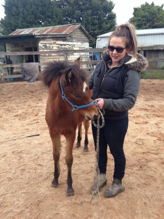 Riding pony gelding 2yo