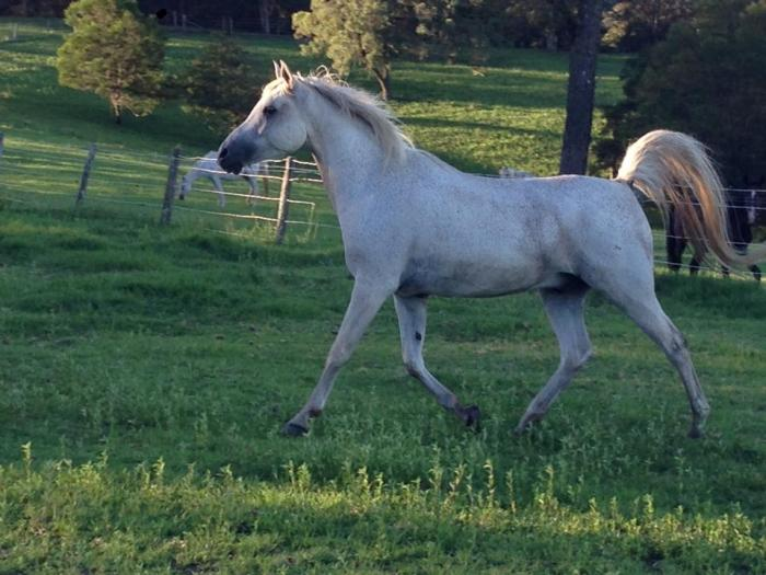 Lovely Arab Gelding