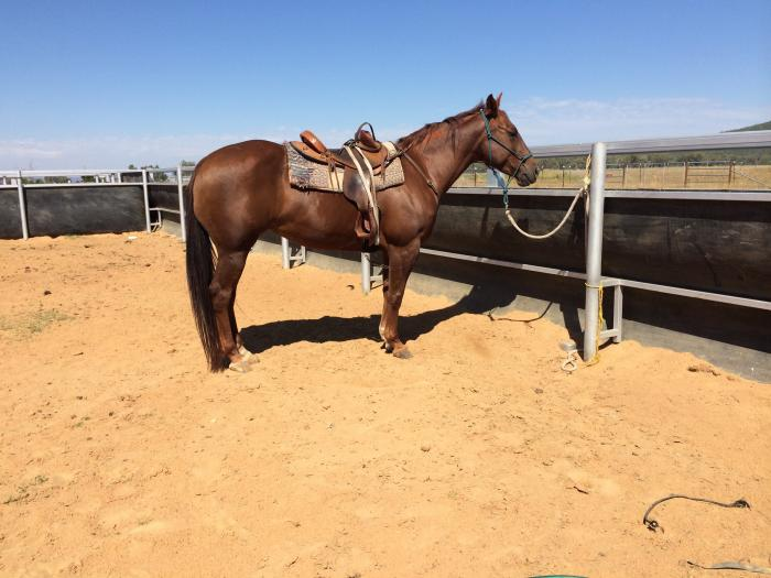 Stunning Registered QH Mare!!