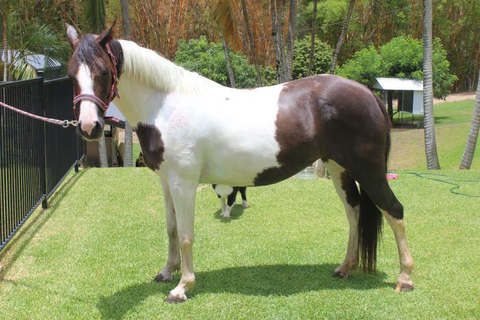 Sport horse x