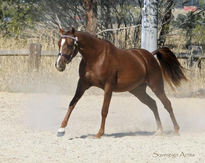 Multi Registered Dressage Pony Filly