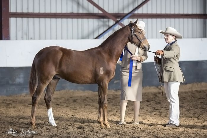 Ivory bred ASH Yearling Gelding