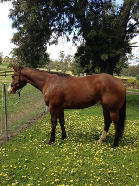 Beautiful Paint bred mare