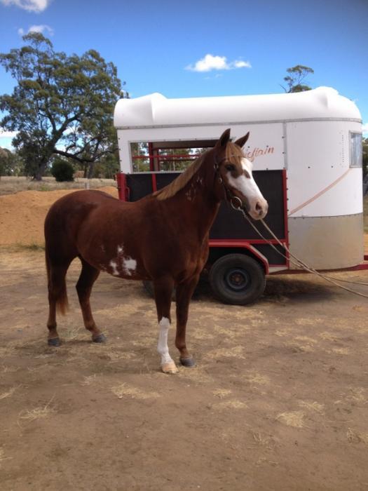 Stunning little Quarter Horse