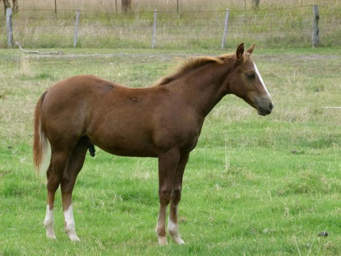 QH gelding by SOS Radar (imp)