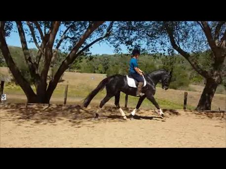 Black 4yr old WB Mare - Premium A.C.E Classified