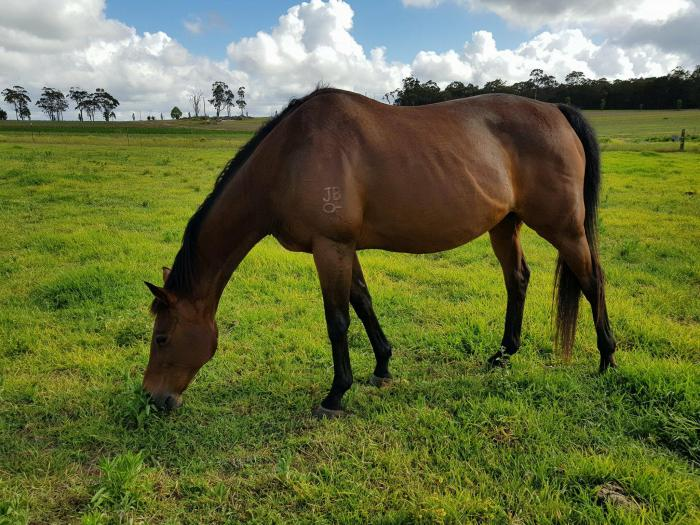 Free to good home- Lovely Thoroughbred Mare - Companion Home wanted