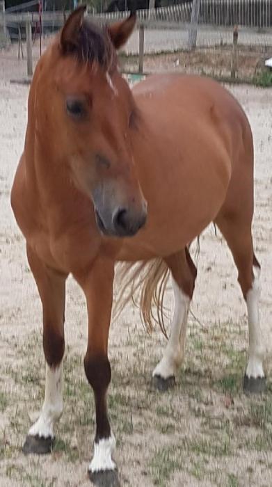 Beautiful Coloured Filly Pony – ready to break i