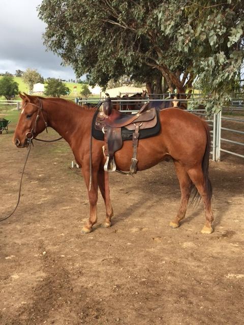 Quiet Rising 3yo Quarter Horse Gelding
